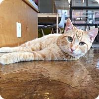 Adopt A Pet :: Sansa Stark - St. Louis, MO