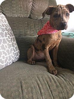 Catahoula Leopard Dog/Labrador Retriever Mix Puppy for adoption in KITTERY, Maine - Khaleesi