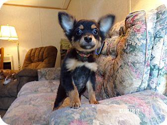 Corgi/Pomeranian Mix Puppy for adoption in West Warwick, Rhode Island - COSMO in Rhode Island