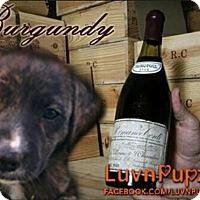 Adopt A Pet :: Burgundy - Wyoming, MI