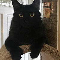 Polydactyl/Hemingway Cat for adoption in Long Beach, California - Jelly Bean ,Polydactyle