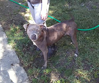 American Pit Bull Terrier Mix Dog for adoption in Crosby, Texas - Piper