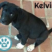Adopt A Pet :: Kelvin - Kimberton, PA