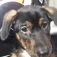 Adopt A Pet :: Lois - White Settlement, TX