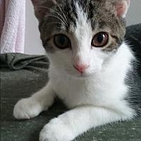 Adopt A Pet :: Bubbles - Hazel Park, MI