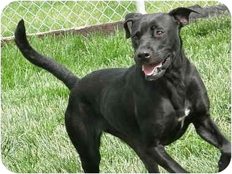 Labrador Retriever Mix Dog for adoption in Meridian, Idaho - Jezebel