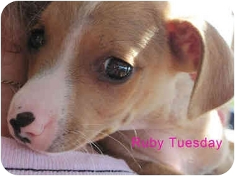 Terrier (Unknown Type, Small)/Chihuahua Mix Puppy for adoption in Poway, California - Ruby Tuesday