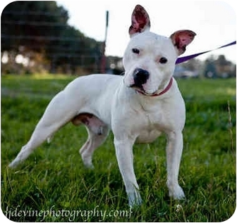 Staffordshire Bull Terrier Mix Dog for adoption in Seattle, Washington - Jock
