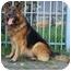 Photo 3 - German Shepherd Dog Mix Dog for adoption in Los Angeles, California - Chopper von Carlsbad