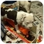 Photo 3 - American Bulldog Mix Puppy for adoption in Hammonton, New Jersey - Dutchess