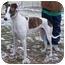 Photo 1 - Greyhound Dog for adoption in Fremont, Ohio - Charlie