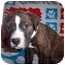 Photo 2 - Boxer Mix Puppy for adoption in Westminster, Colorado - Brooklyn