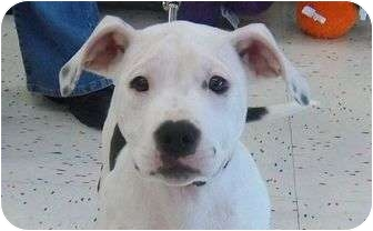 American Pit Bull Terrier Mix Puppy for adoption in Livonia, Michigan - Mouse-Pending