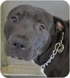 American Pit Bull Terrier Mix Dog for adoption in Kansas City, Missouri - **Critical** Nigel