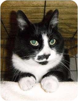 Domestic Shorthair Cat for adoption in Maple Ridge, British Columbia - Fizzle