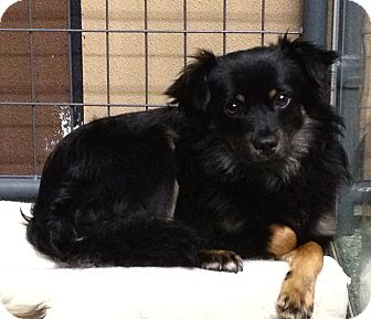 Spaniel (Unknown Type)/Pekingese Mix Dog for adoption in Simi Valley, California - Jasper