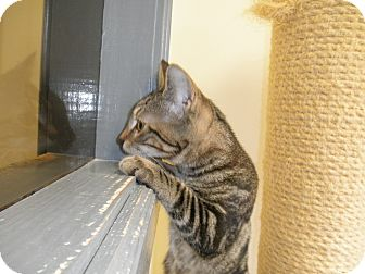 Domestic Shorthair Kitten for adoption in Milwaukee, Wisconsin - Sal - In Foster Care