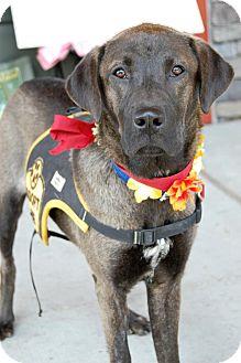 Labrador Retriever/Shepherd (Unknown Type) Mix Dog for adoption in Baton Rouge, Louisiana - Anastasia