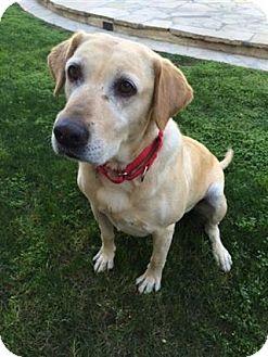 Labrador Retriever Mix Dog for adoption in Torrance, California - Parisa