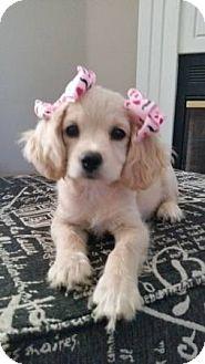 Cocker Spaniel/Chihuahua Mix Puppy for adoption in Santa Barbara, California - COSETTE