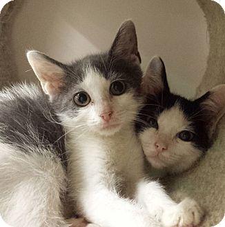 Domestic Shorthair Kitten for adoption in East Meadow, New York - Kittens