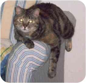 American Shorthair Cat for adoption in Scottsdale, Arizona - Stormy