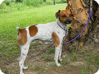 Jack Russell Terrier Mix Dog for adoption in Tyner, North Carolina - Buddie