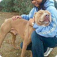 Adopt A Pet :: BABY HUEY - Valley Village, CA