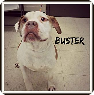 American Bulldog Mix Dog for adoption in Defiance, Ohio - Buster
