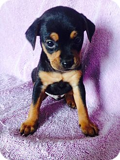 Dachshund/Jack Russell Terrier Mix Puppy for adoption in Santa Ana, California - Bubba's