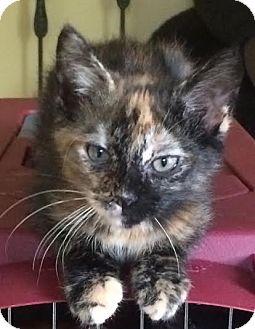 Domestic Shorthair Kitten for adoption in Columbus, Ohio - Eva