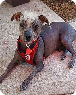 Xoloitzcuintle/Mexican Hairless Dog for adoption in Los Angeles, California - Kahlua