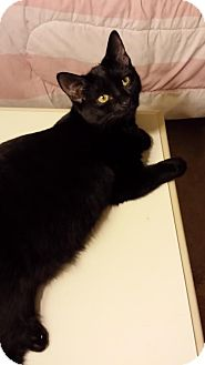 Domestic Shorthair Kitten for adoption in Absecon, New Jersey - Lona