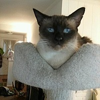 Siamese Cat for adoption in Woodland Hills, California - Emo