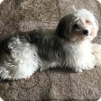 Adopt A Pet :: Buttercup - Plano, TX