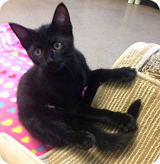 Domestic Shorthair Kitten for adoption in Hendersonville, North Carolina - Boo