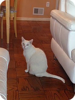 Domestic Shorthair Cat for adoption in Piscataway, New Jersey - Pinky: Urgent