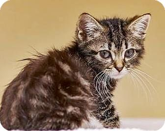 Domestic Mediumhair Kitten for adoption in Lincolnton, North Carolina - Clancy, Tiny  $20