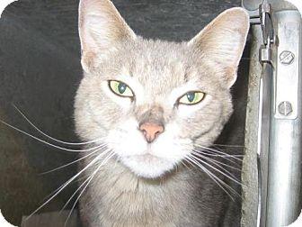 Domestic Shorthair Cat for adoption in Kankakee, Illinois - Denzel