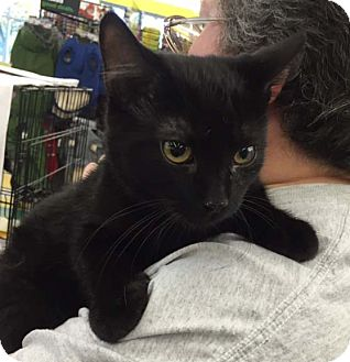Domestic Shorthair Kitten for adoption in Lombard, Illinois - Casino