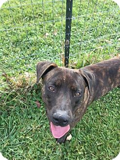 Labrador Retriever/Terrier (Unknown Type, Medium) Mix Dog for adoption in South Haven, Michigan - Jackson