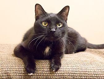 Domestic Shorthair Cat for adoption in Chicago, Illinois - Bob Black