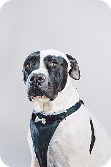 American Staffordshire Terrier/Boxer Mix Dog for adoption in Los Angeles, California - Petey