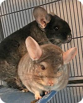 Chinchilla for adoption in Granby, Connecticut - Beau & Jax