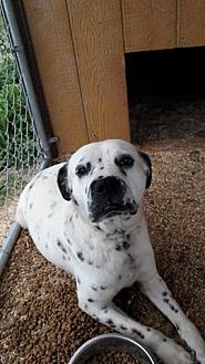 Dalmatian/Boxer Mix Dog for adoption in Wytheville, Virginia - Domino