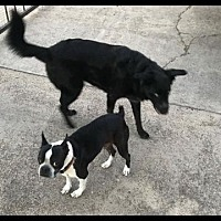 Adopt A Pet :: Weezie (George bonded pair) medical hold - Irving, TX
