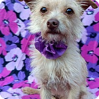 Adopt A Pet :: Josie - Charlotte, NC