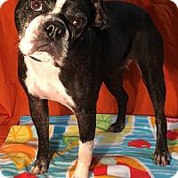 Adopt A Pet :: Susie Q - Indian Trail, NC