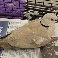 Adopt A Pet :: A1707777 - Los Angeles, CA