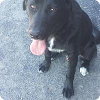 Adopt A Pet :: Hawkins - Kirkland, WA